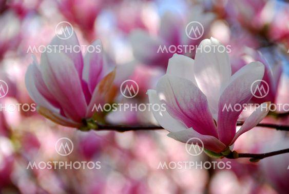 Magnolia blommor