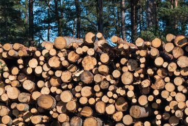 Barrmassaved efter gallring i en tallskog