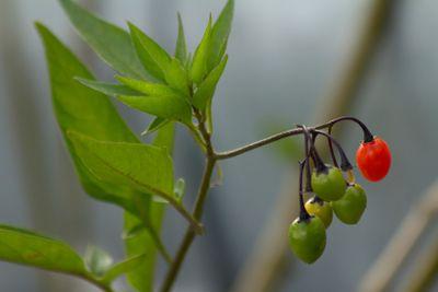 Solanum Dulcamara II