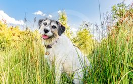 Adorable jack russell terrier posing for the camera