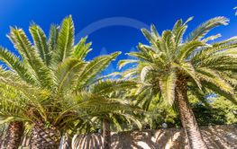 Two palm trees, against deep blue sky