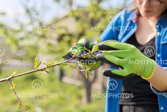 Spring gardening, woman gardener in gloves with pruner,...