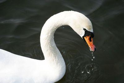 Beutiful swan