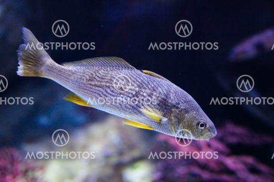 Yellowfin croaker (Umbrina roncador)