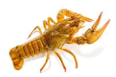 Crayfish isolated