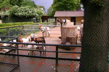Wild goats in a zoo