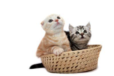 Scottish  kittens  on a white background