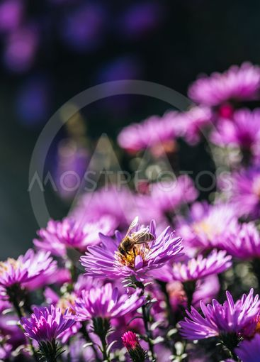 Close up view of bee on beautiful purple fresh flower in...