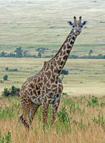 afrikansk giraff