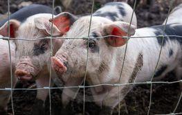 Saddleback piglets behind the fencing of a pigsty