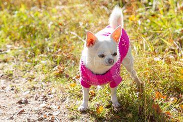 Chihuahua med stickad tröja