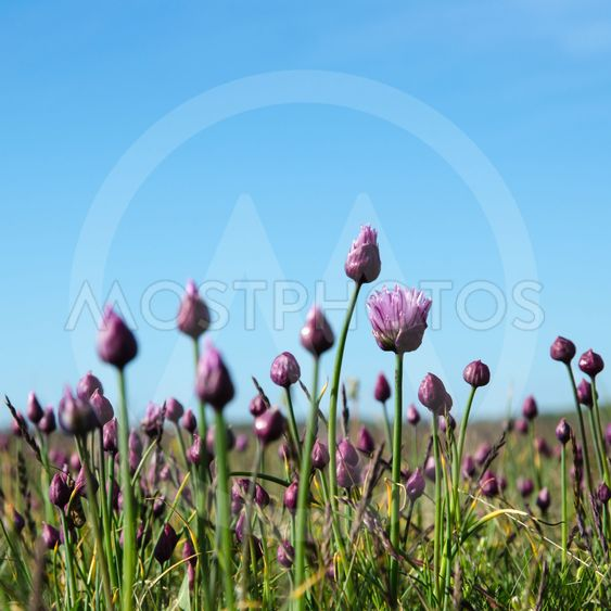 Blossom wild garlic and buds in a grassland with blue sky