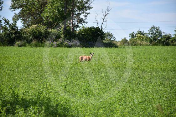 Lyssnande rådjur i ett grönt fält