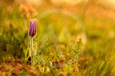 Blooming Pulsatilla on a meadow in the rain, at sunset on...