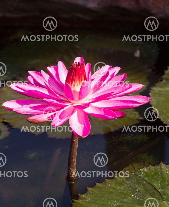 Siam Lotus