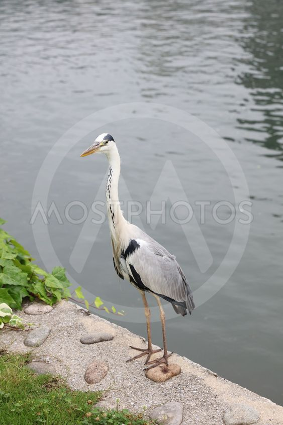 Great  Heron Caught a Fish