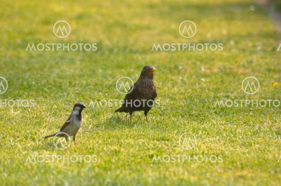 Sparrow and thrush