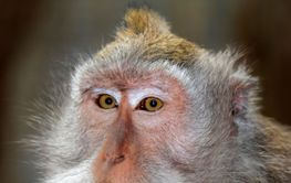 Balinese long-tailed monkey - Indonesia