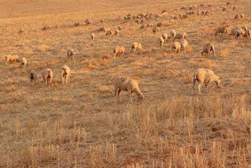 Sheep grazing in a Landscape