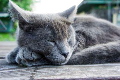 Russian Blue breed kitten
