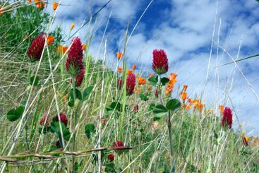Red Clover And Orange Poppies