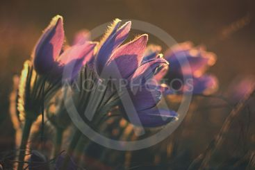 Beautiful violet flowers on a meadow at sunset. Beautiful...