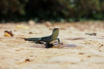 One dark green lizard in front of a puddle