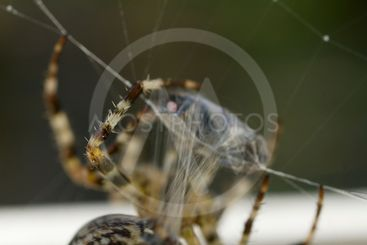 A Spider's Lunch