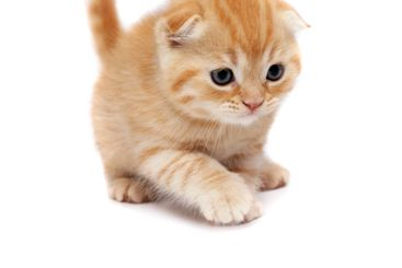 Scottish Fold Cats Plays on a white background