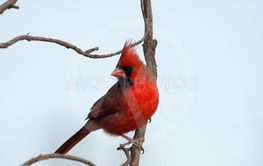male cardinal perched on a branch