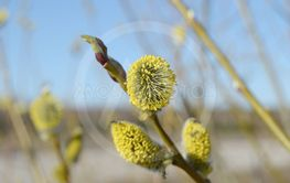 Willow blossoms
