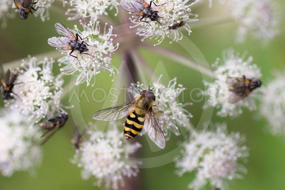 Blomfluga med andra flugor