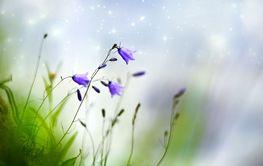 Beautiful flowers bells blooming in the field