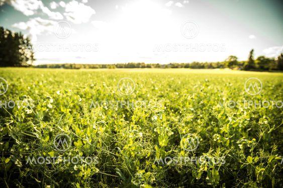 Ärtor på ett fält