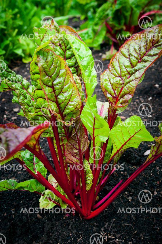 Vegetable garden - beet plant