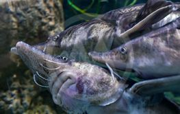 Aquarium with a group of sturgeons at the Dubai mall