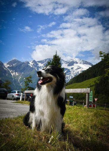 Portrait of border collie is sitting in austria nature
