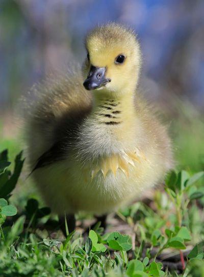 Baby Canada Goose (Branta canadensis)