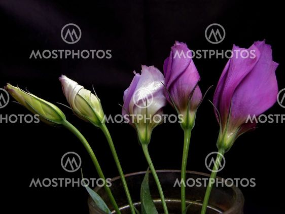 http://www.mostphotos.com/preview/106843/some-unfolding-lisianthus-flowers.jpg