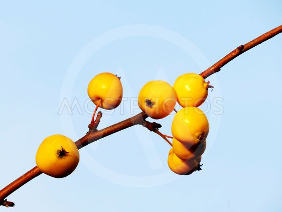 A branch of an Apple tree.
