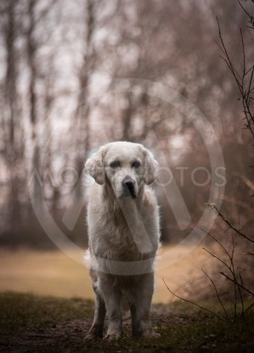 Labrador is standing in front of forest,