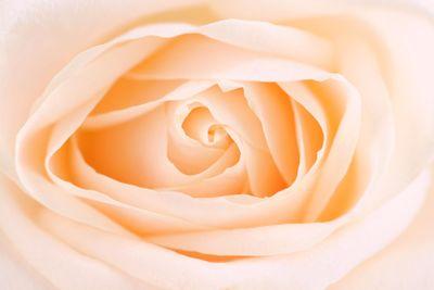 Delicate beige rose