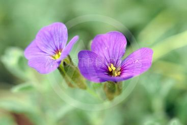 close up of two tiny aubrieta flowers against blurred...