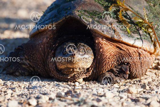 Yhteinen kiinnittäminen kilpikonna