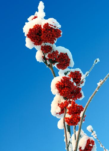 ash-berry red branches under snow