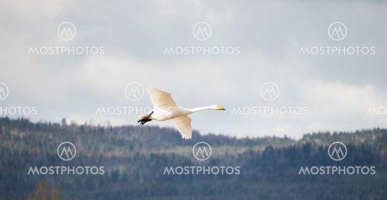 Ett säkert vårtecken en sångsvan anländer till fågelsjön...