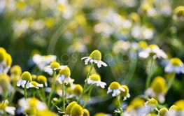 Chamomile flowers growing on meadow