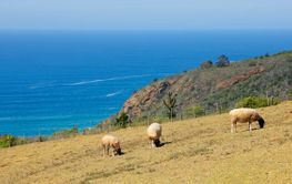 Sheep grazing on coastal pasture