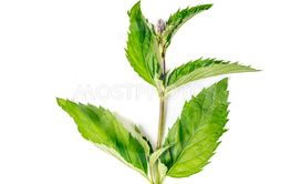 one single green fresh Organic Mint leaves