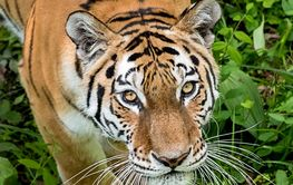 Look of the Amur tiger